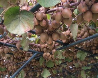 キウイ菜園10月、品種はゴールド