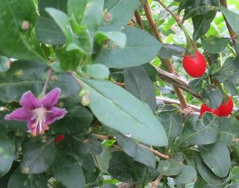 クコの花と実11月