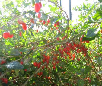 クコの実り11月菜園