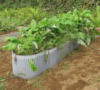ゴボウ高畝栽培10月菜園