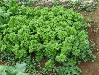 わさび菜菜園12月