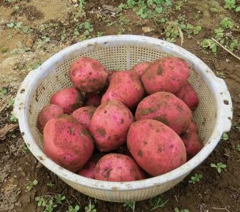 ジャガイモ収穫物2株12月上旬