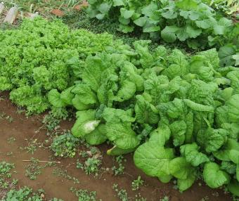 カツオ菜とわさび菜