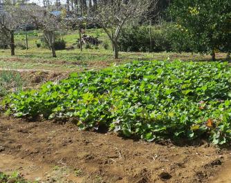 サツマイモ畑10月