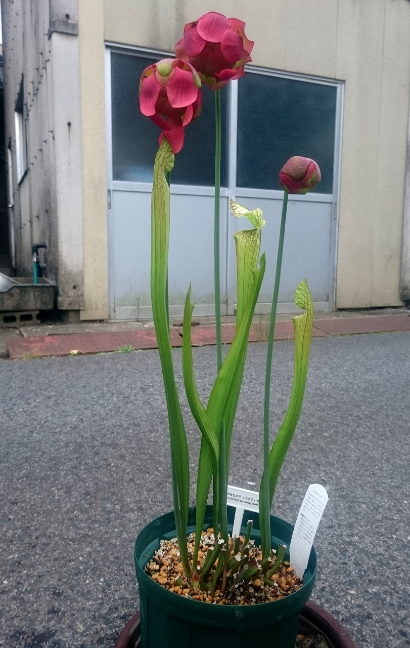 20160508-SarraceniaSpLeucophylla-X02.jpg