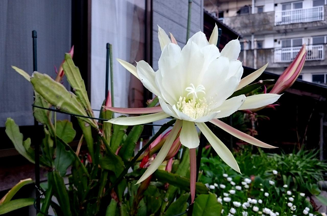20160526-Epiphyllum-X02.jpg