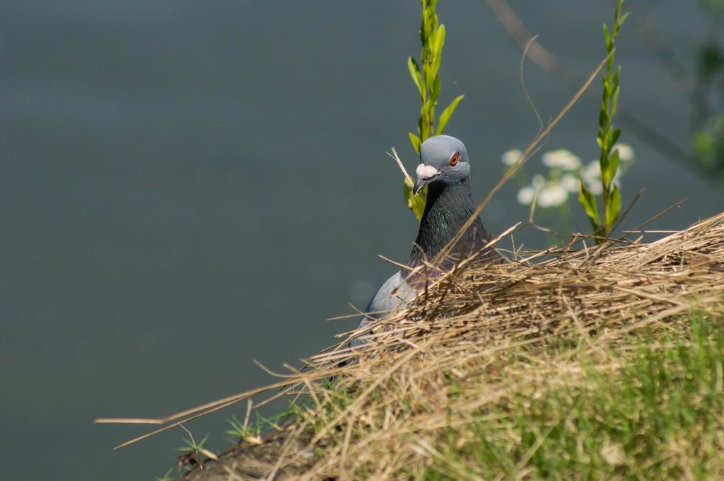 巣材を集めるカワラバトさん (6Pic)