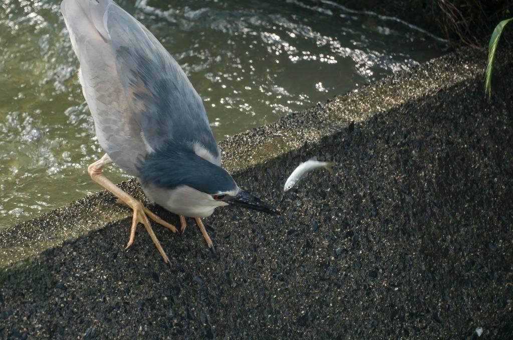 魚道のゴイサギさん (3Pic)