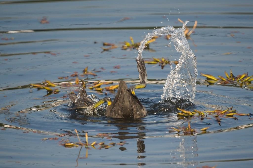 沈んだ菱の葉っぱを食べるオオバンさん (8Pic)